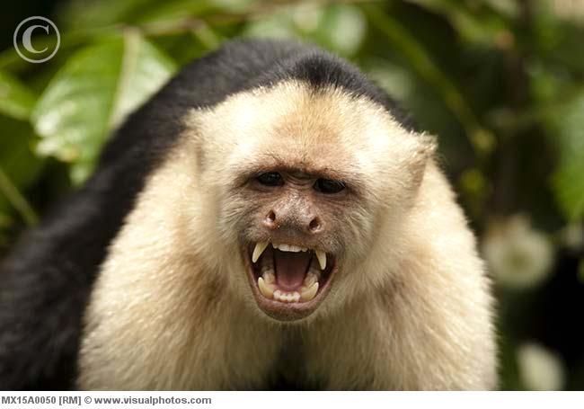 Capuchin monkey smiling