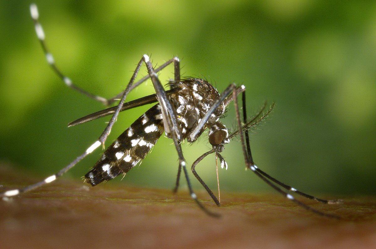 Chikungunya, Oms: