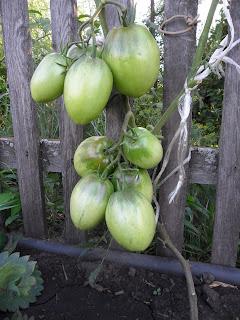 Завязь помидора сорта Кенигсберг подвязана к забору