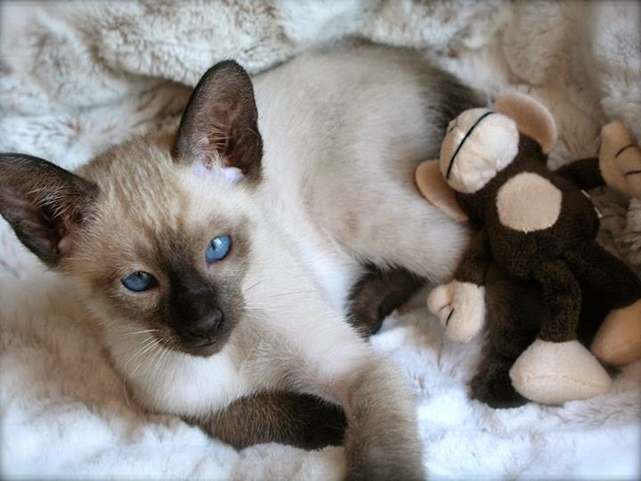 Seal Point Siamese kittens for Sale in NC