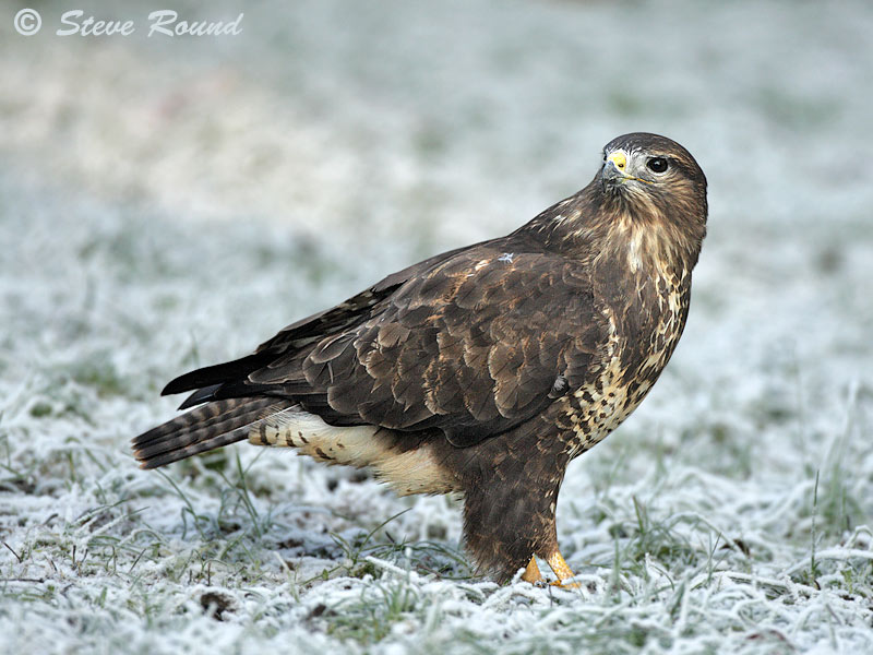 bird, raptor, nature, wildlife, frost, frosty, winter