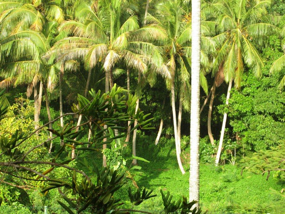 Lumière du matin sur les cocotiers de Moorea en POlynésie