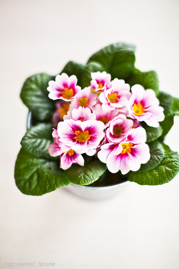 Primrose Primel Blumen
