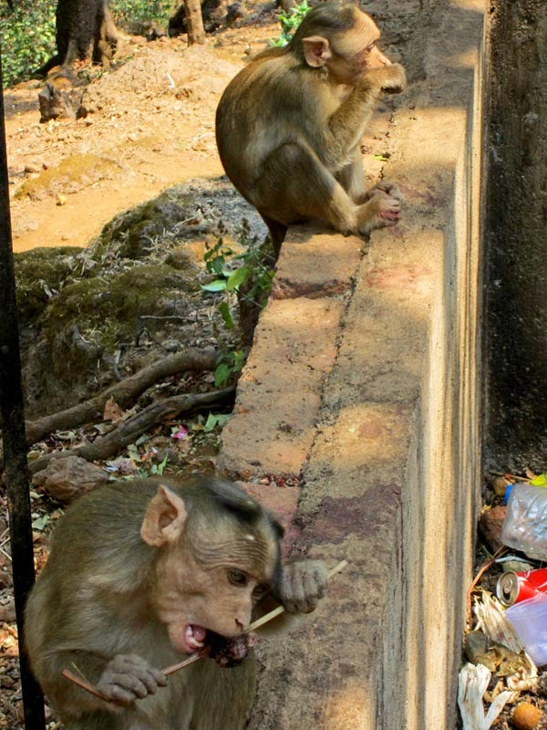 Two monkeys sitting in a row eating ice golas
