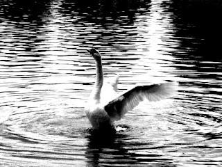 Cisne volando