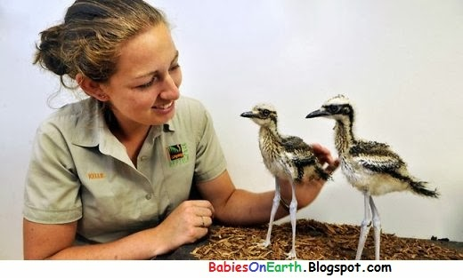 BABY CURLEW