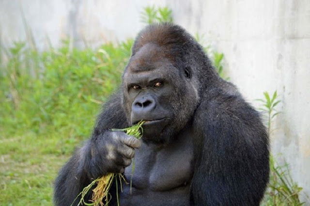 Japanese Women Going Bananas Over 'Handsome' Gorilla