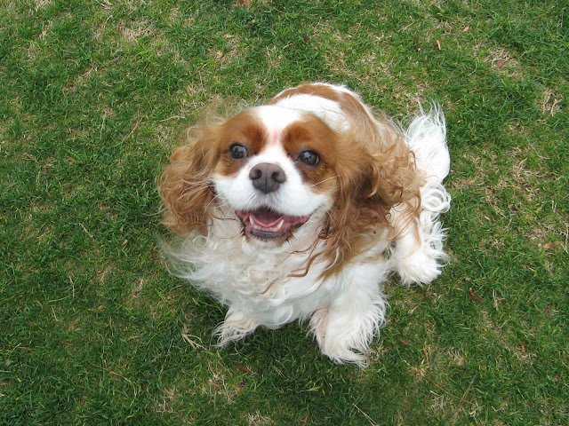 Emma the Blenheim Cavalier King Charles Spaniel Dog