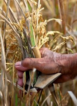 "Pertanian Tradisional - Sejarah Pemotong Padi ""ANI-ANI"""