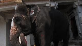 elefante-india