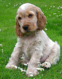 English Cocker Spaniel Puppy Pictures