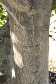 BAEL TREE CRUST & LOW SPERM COUNT