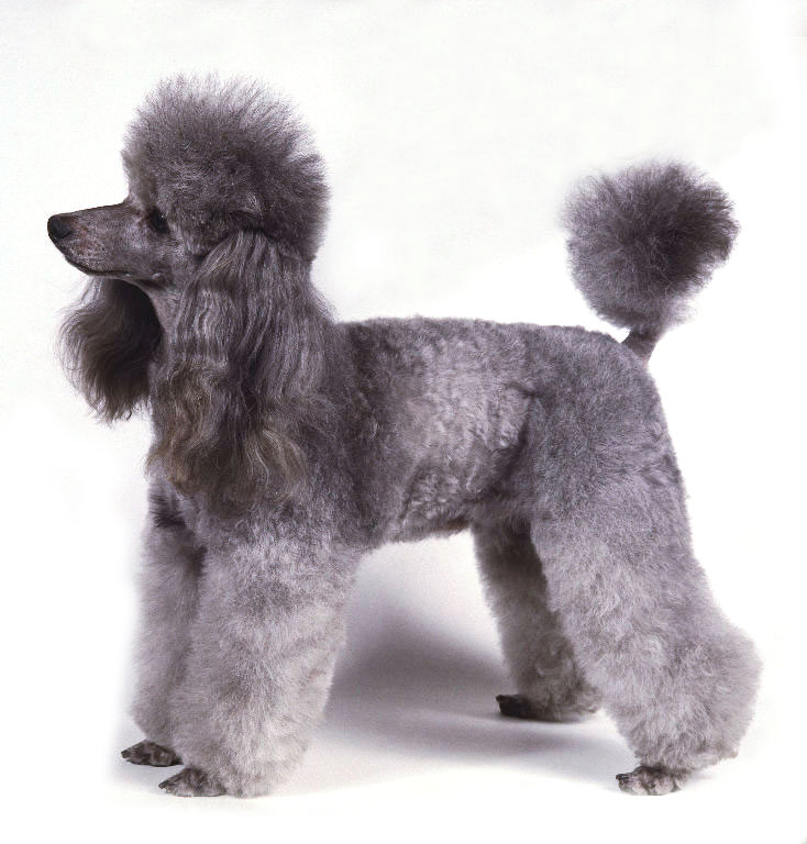 Poodle Pets Dog Fun Animals Wiki Videos Pictures Stories