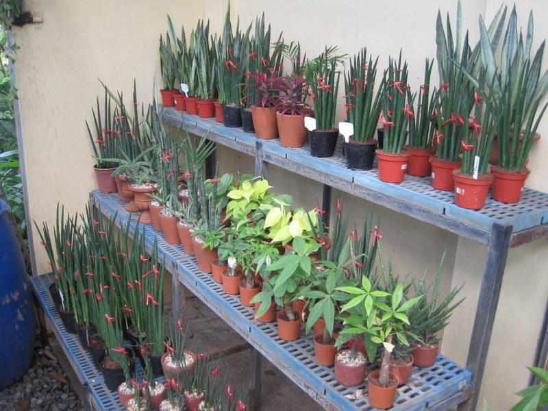 Tabang guiguinto a planter 39 s haven filipina explorer for Philippine garden plants