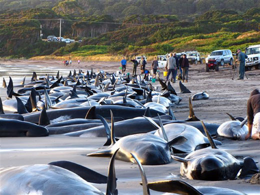 Whales And Dolphins. Whale and Dolphin Mass Suicide