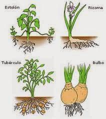 Tipos de reproduccion asexual en plantas por rizomas