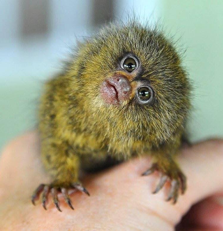 Ninita, the playful pugmy marmoset