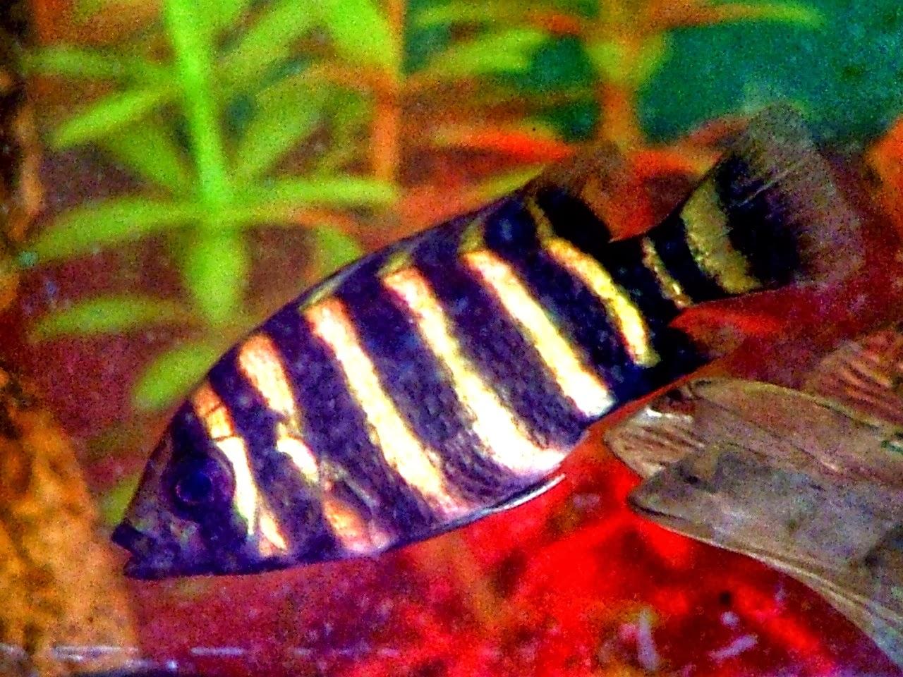 fishshare.blogspot-ikan%2Bhias%2Bair%2Btawar%2B1%2B(2).jpg