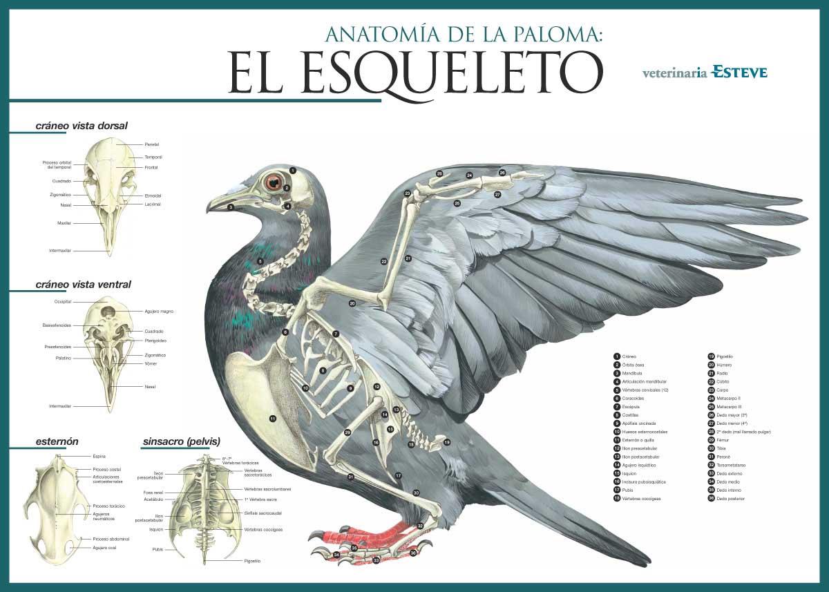 Mis amigas las palomas: Esquemas anatomía de las palomas