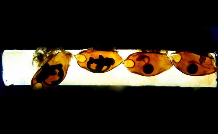 Fishes Fin: Whitespotted Bamboo Shark Egg