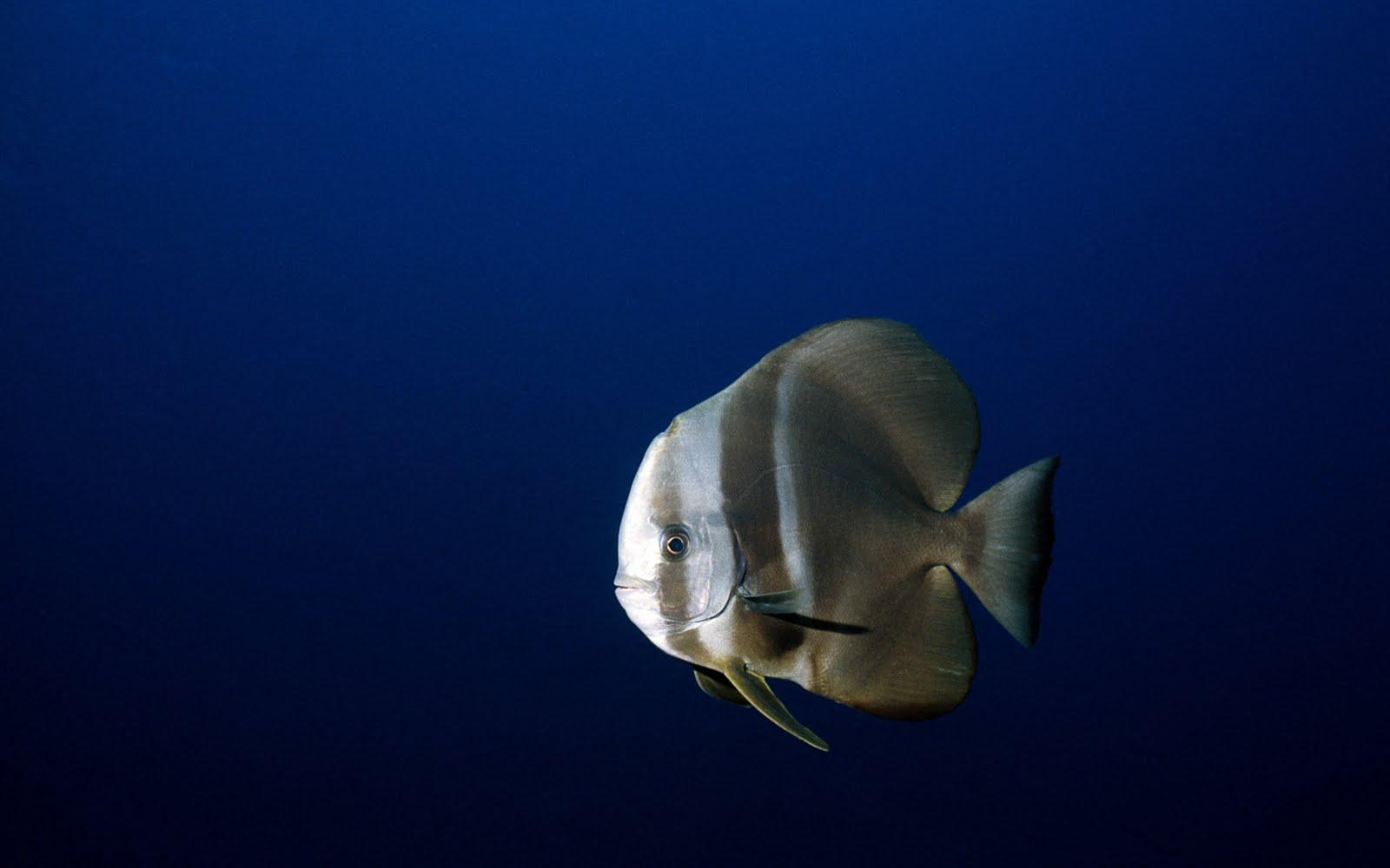 http://4.bp.blogspot.com/-Llvl-kS_zYY/TkksTPx4JuI/AAAAAAAAEdc/w39gA6ANoQo/s1600/DEEP-SEA-WALLPAPER-3D-FISH%2B%25281%2529.jpg
