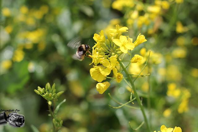 Duas fotografias únicas com o trabalho de uma pequena abelha na colheita do polén das flores.