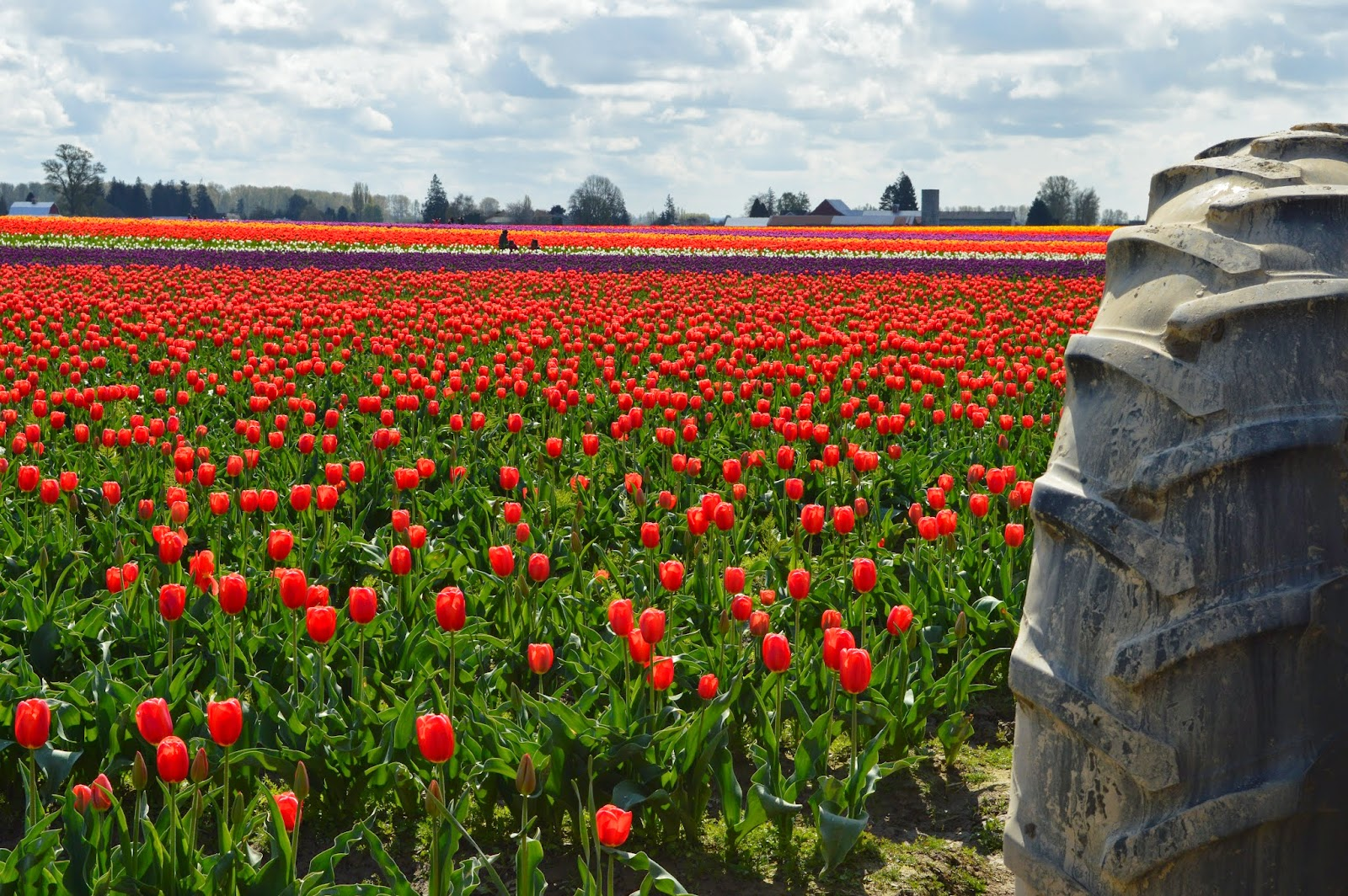 Tractor on the multi color tulip fields