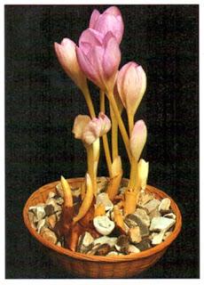 Безвременник осенний (Colchicum autumnale) можно вырастить «сухим».