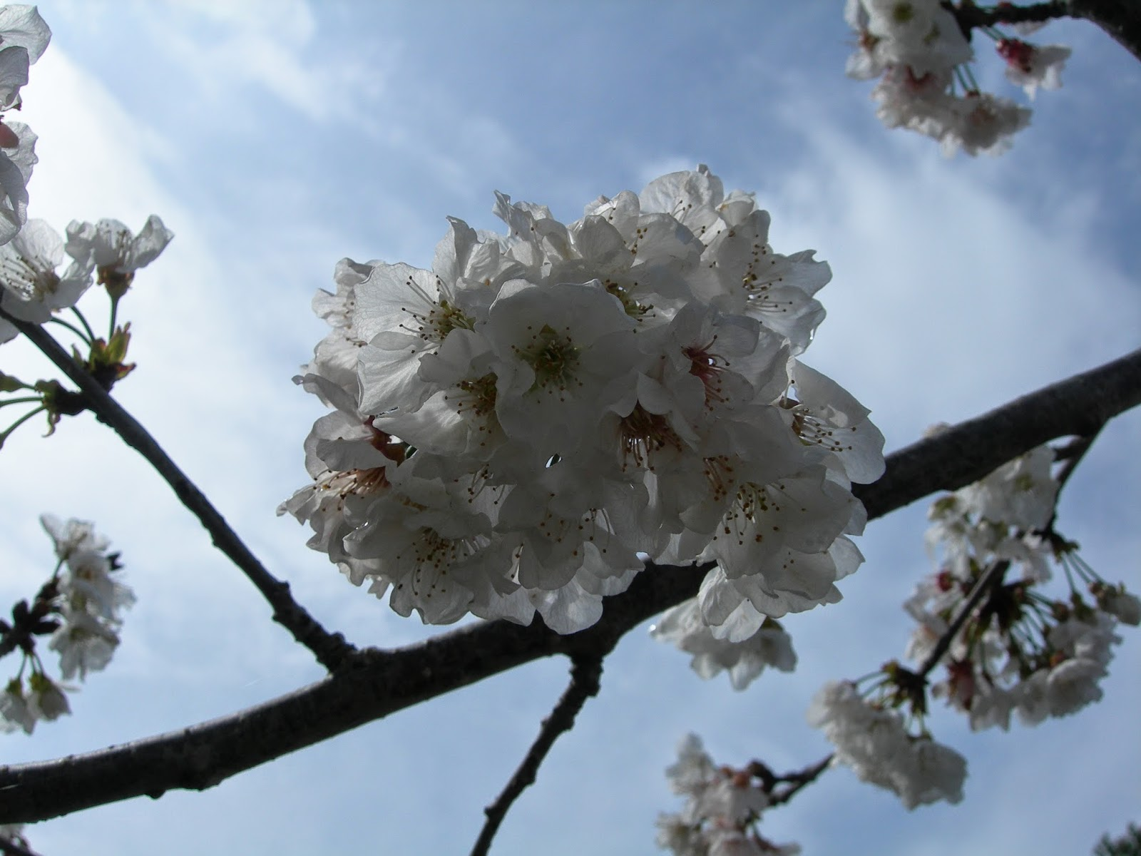 Martin il mio albero di ciliegio marzo 2014 for Albero ciliegio