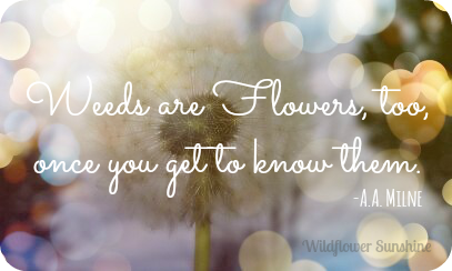 Weeds are Flowers, too, once you get to know them. A.A. Milne - on Wildflower Sunshine