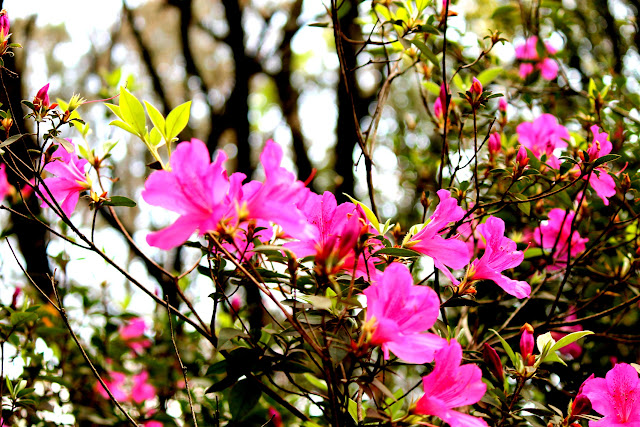 Planta com flores rosa e folhas verdes