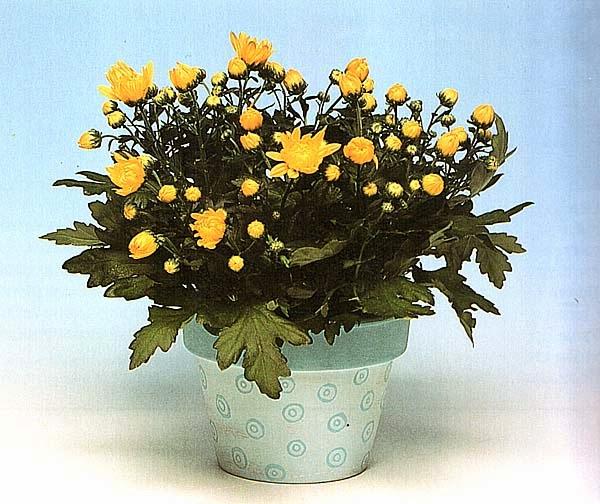 Цветущие круглый год хризантемы