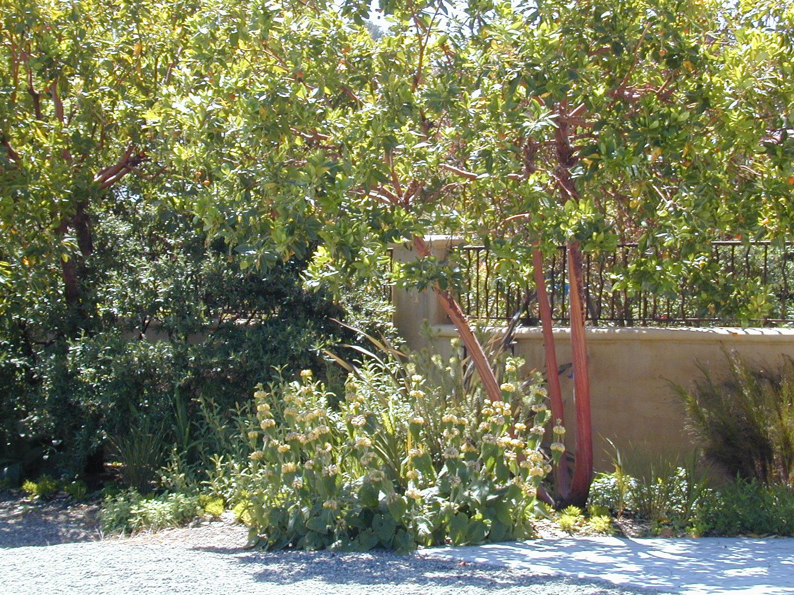 arbutus marina strawberry tree - photo #27