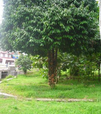 Pohon kepel