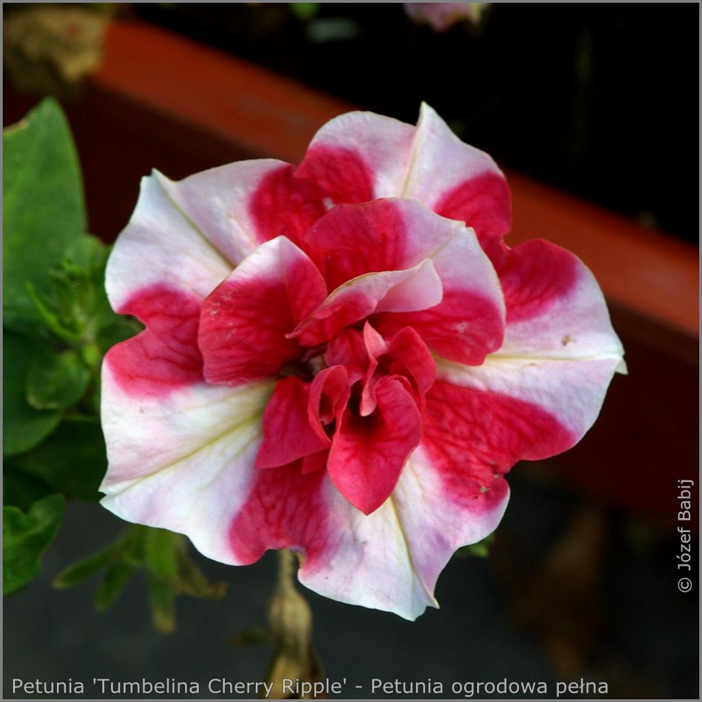 Petunia 'Tumbelina Cherry Ripple' - Petunia ogrodowa pełna