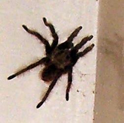 tarantula, Honduras