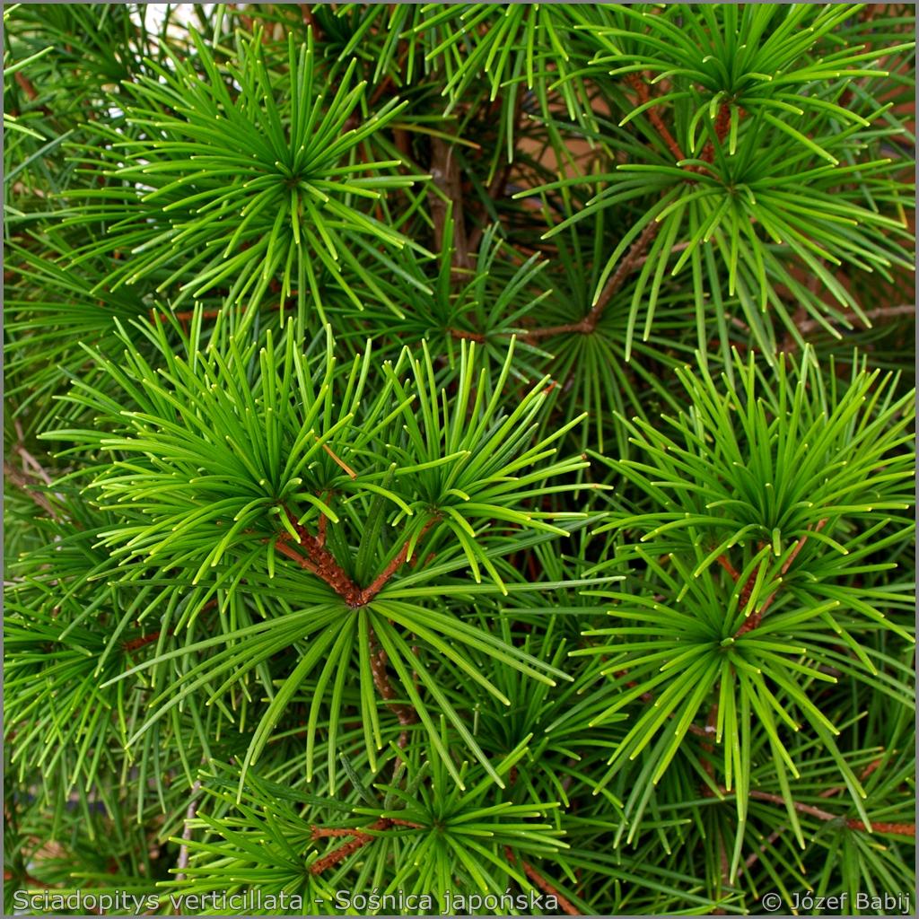Sciadopitys verticillata - Sośnica japońska