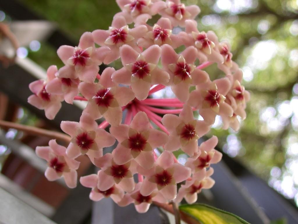 Never say book il linguaggio segreto dei fiori il for Pianta fiori di cera