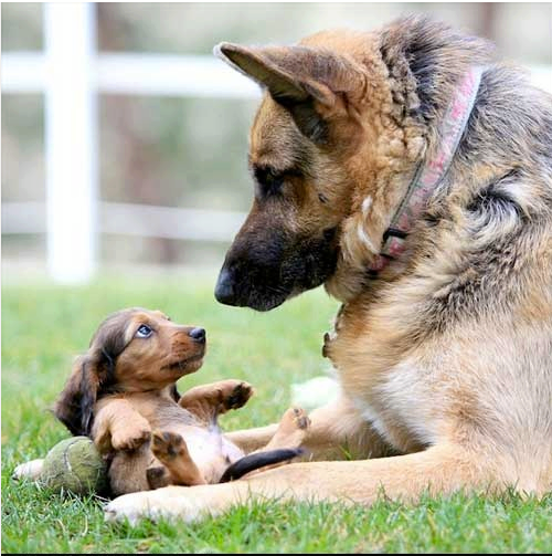 Mother German shepherd looking after her puppy