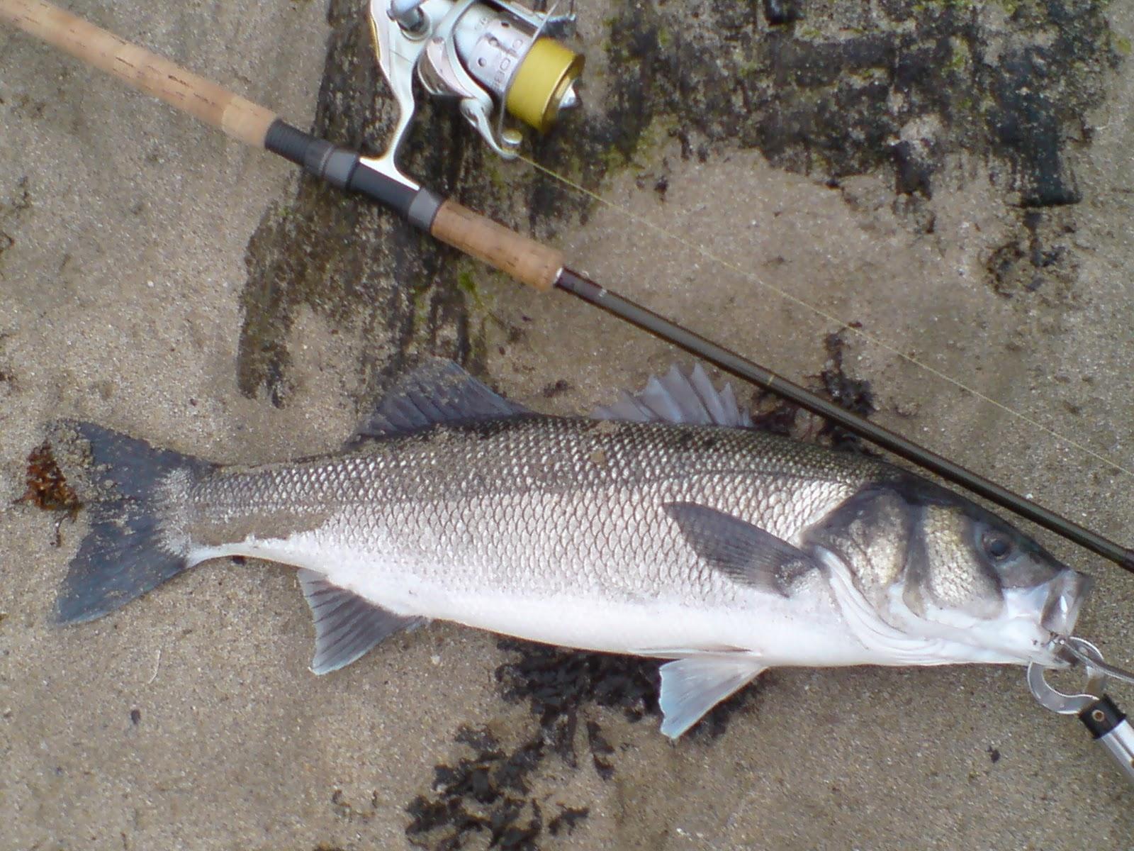 Cast hook and strike sea bass fishing blog big bass on for Bass fishing swimbaits