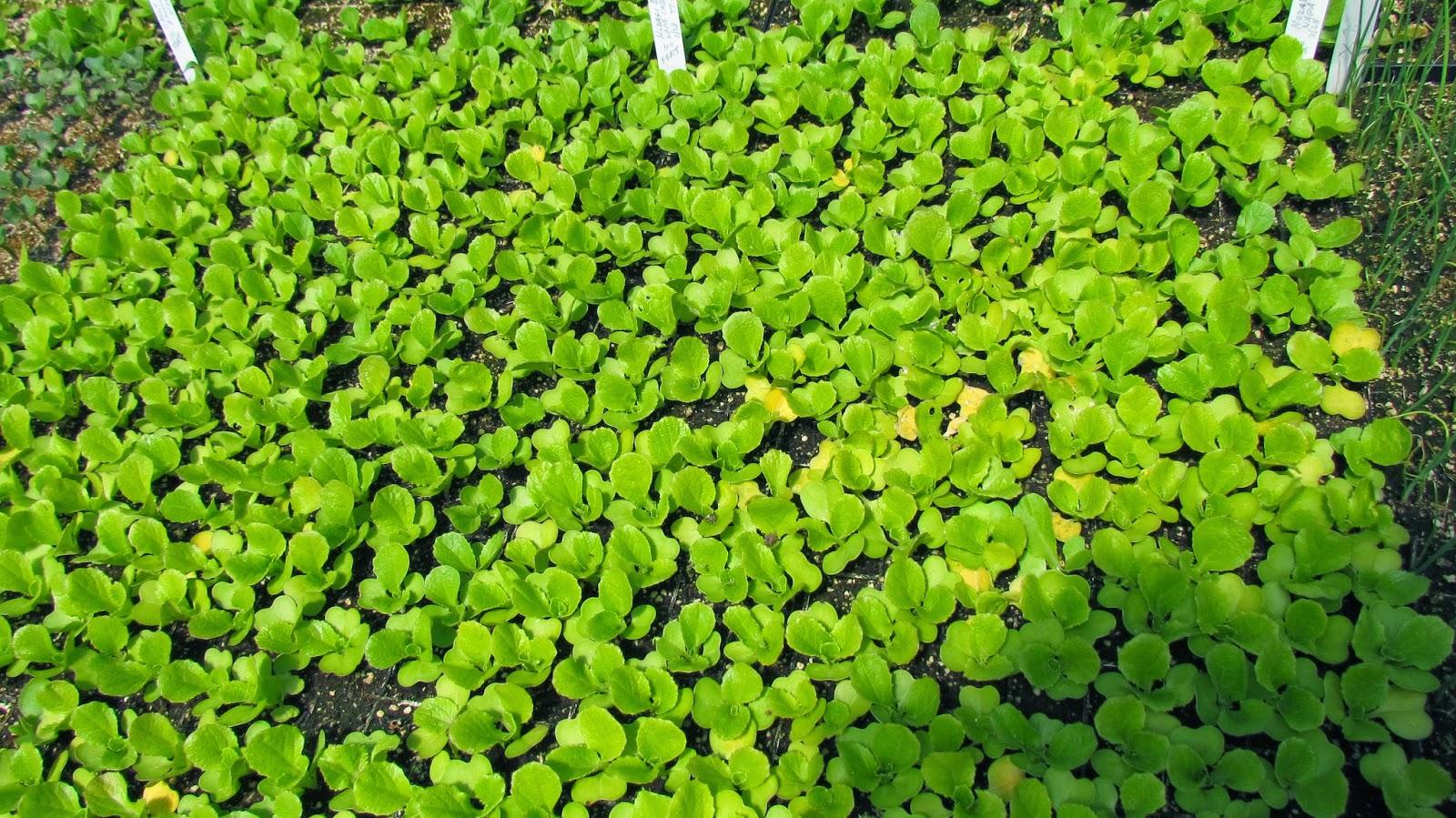 kilele f1 for open field farming