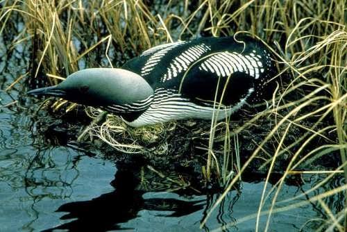 Indian bird - Black-throated loon - Gavia arctica