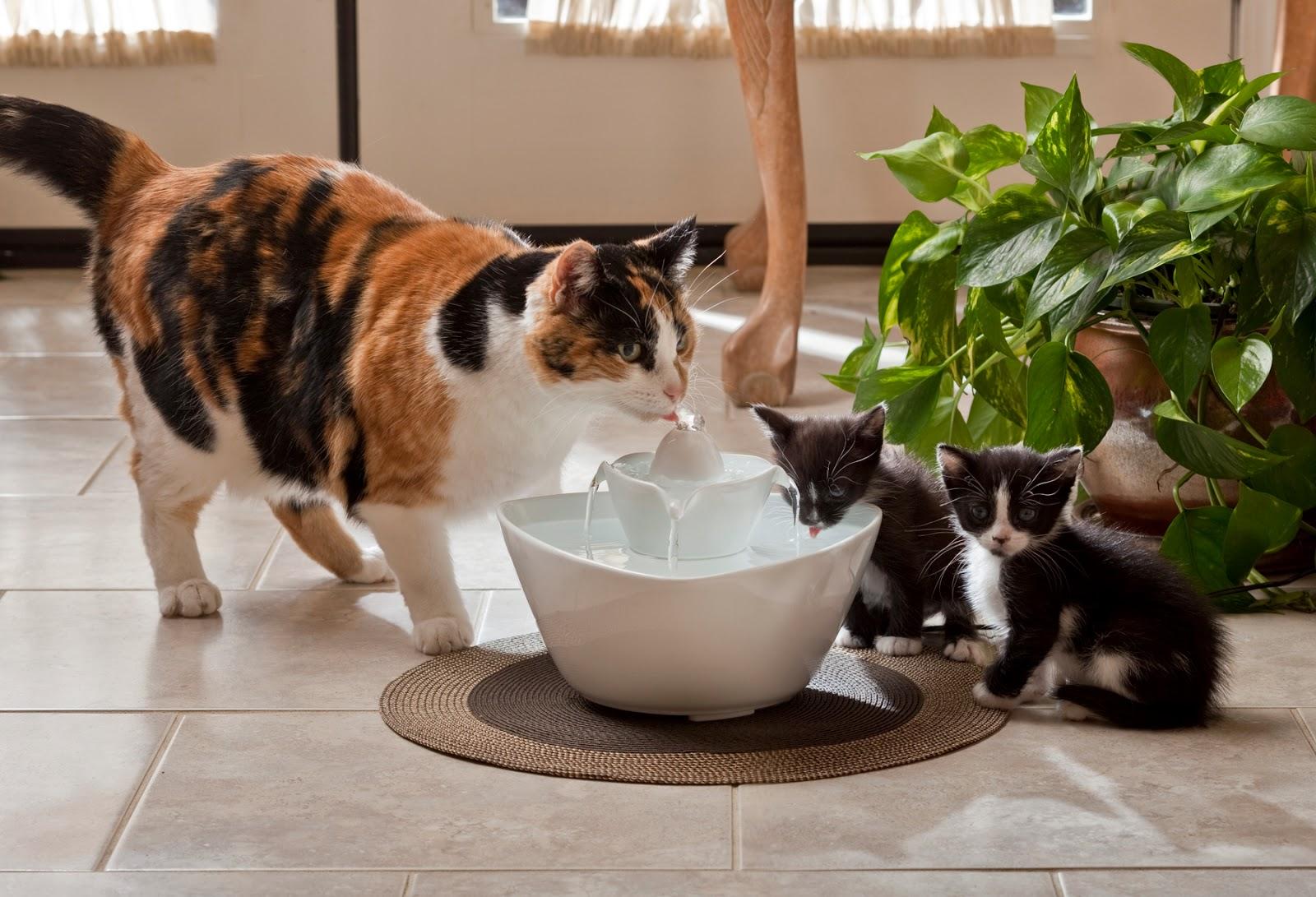 сколько должна пить воды кошка в день