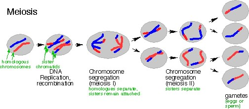 Biology what is meiosis because they receive just one copy of each chromosome rather than two compare the offspring in the meiosis diagram to those in mitosis ccuart Gallery
