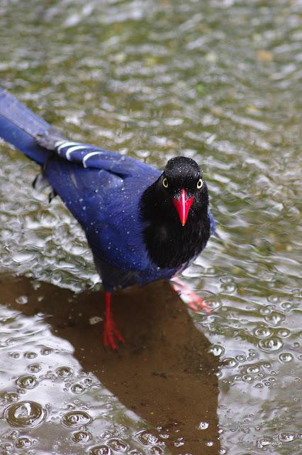 雞南山的台灣藍鵲,玩水中