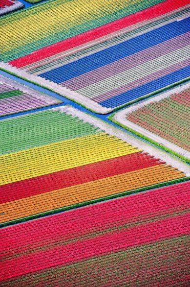 Tulip Fields, The Netherlands, between Sassenheim and Lisse