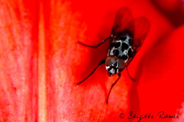 Diptère, mouche, anthomia procellaris