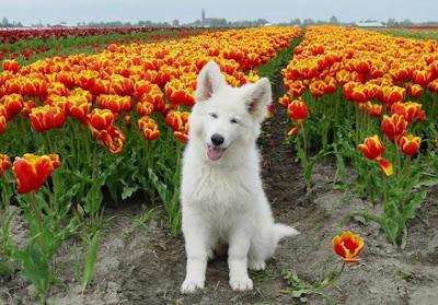 cachorro perro pastor blanco suizo