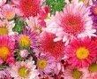 Entas em flor