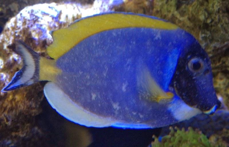 peces y plantas ornamentales oodiniosis o enfermedad de